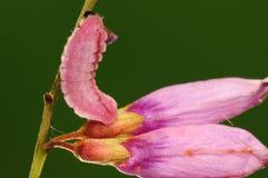 Larva de la mariposa, argiolus de Celastrina Fotos de archivo libres de regalías
