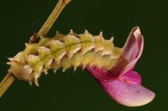 Larva de la mariposa, caerulea de Rapala Foto de archivo libre de regalías