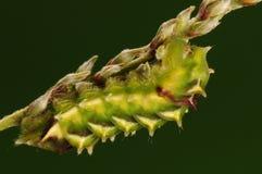 Larva de la mariposa, caerulea de Rapala Fotografía de archivo