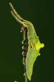 Larva de la mariposa/del superba/del verde de Helcyra Fotografía de archivo