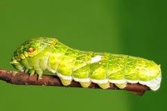 Larva de la mariposa, dialis de Papilio Foto de archivo libre de regalías
