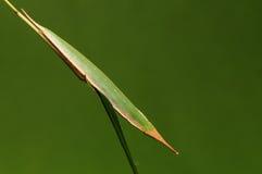 Larva de la mariposa en acto de la ramita como un adelma de Penthema de la hoja Fotografía de archivo