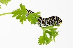 Larva de la mariposa en el perejil Fotografía de archivo libre de regalías