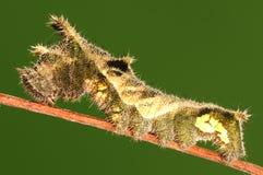 Larva de la mariposa, hylas de Neptis Fotografía de archivo libre de regalías