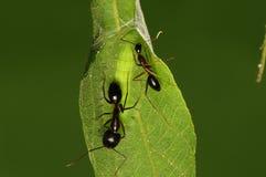 Larva de la mariposa, Mahathaio Fotos de archivo libres de regalías