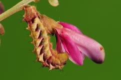 Larva de la mariposa, micans de Rapala Imagen de archivo