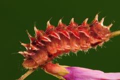 Larva de la mariposa, micans de Rapala Fotografía de archivo