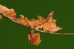Larva de la mariposa, philyra de Neptis Foto de archivo libre de regalías