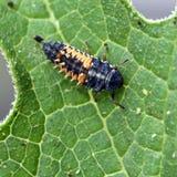 Larva de la mariquita Imágenes de archivo libres de regalías