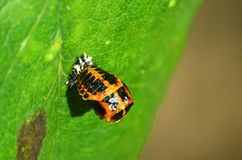 Larva de la mariquita Foto de archivo libre de regalías