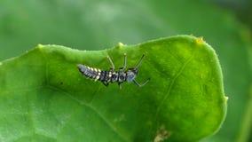 Larva de la mariquita en las hojas almacen de metraje de vídeo