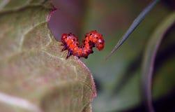 Larva de la mosca de sierra Imagenes de archivo