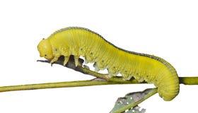 Larva de la mosca de sierra 10 Fotografía de archivo libre de regalías