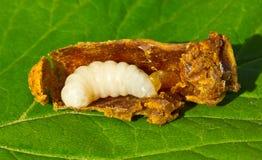 Larva de la reina de la abeja Foto de archivo libre de regalías