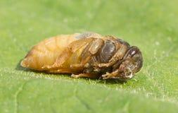 Larva de la reina de la abeja Imagen de archivo