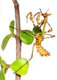 Larva de Mantid Imagem de Stock Royalty Free