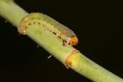 Larva de um vespão foto de stock royalty free