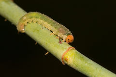 Larva de una mosca de sierra Foto de archivo libre de regalías
