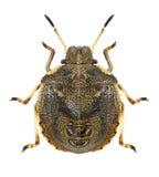 Larva del aeneus de Eysarcoris del insecto Foto de archivo