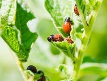 Larva del escarabajo de la patata que come las patatas Imágenes de archivo libres de regalías