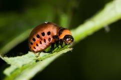 Larva del escarabajo de patata de Colorado imagenes de archivo