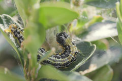 Larva del lepidottero dell'albero della scatola fotografia stock