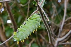 Larva del lepidottero di cecropia Fotografie Stock Libere da Diritti