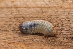 Larva del Melolontha fotografie stock libere da diritti