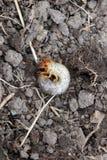 Larva del rizotrogo Immagini Stock Libere da Diritti