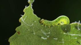 Larva del Tenthredinidae che mangia foglia verde, lasso di tempo stock footage