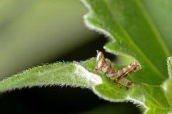 Larva della cavalletta fotografie stock libere da diritti