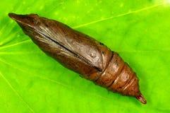Larva della cicala Fotografia Stock Libera da Diritti