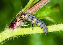 Larva della coccinella immagine stock