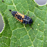 Larva della coccinella immagini stock libere da diritti