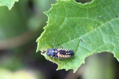 Larva della coccinella fotografie stock