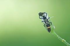 Larva della coccinella che mangia afide immagini stock libere da diritti