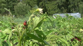 Larva della dorifora della patata sulla foglia e sul vento della pianta stock footage