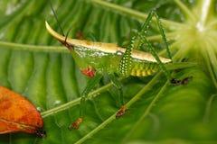 Larva della famiglia Conocephalinae della cavalletta Fotografia Stock