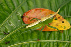 Larva della famiglia Conocephalinae della cavalletta Fotografia Stock Libera da Diritti