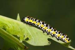Larva della farfalla in un foglio Immagini Stock