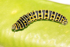Larva della farfalla in un foglio Fotografia Stock
