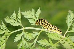 Larva della farfalla in un foglio Immagini Stock Libere da Diritti