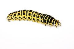 Larva della farfalla in un foglio Immagine Stock