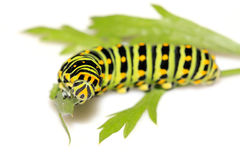 Larva della farfalla in un foglio Fotografia Stock Libera da Diritti