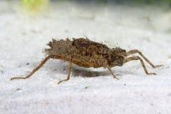 Larva della libellula Fotografie Stock