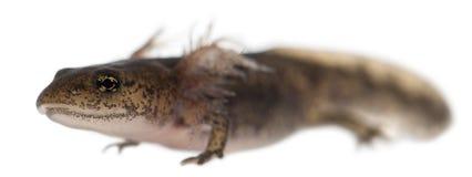 Larva della salamandra di fuoco che mostra le branchie esterne, salamandra del Salamandra immagini stock