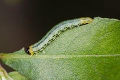 Larva della tentredine Fotografia Stock