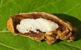 Larva delle api regine in bozzolo immagini stock libere da diritti