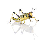 Larva of Desert Locust against white background Stock Photos