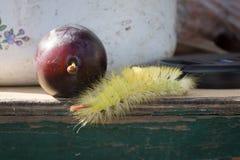 Larva desgrenhado e ameixa fotografia de stock royalty free
